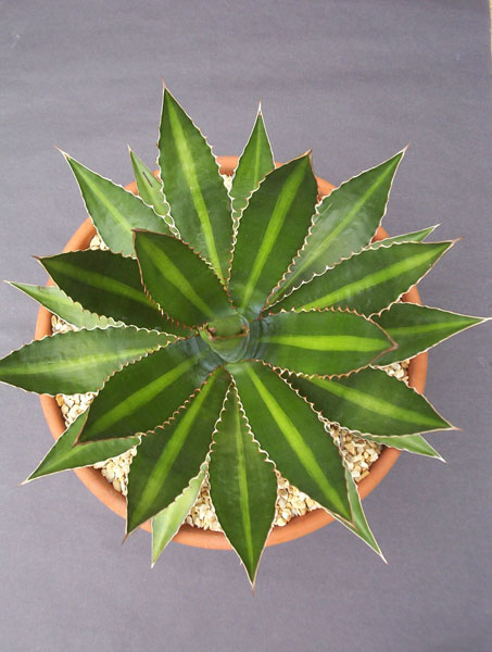 1018 Fig 2 Agave lophantha
